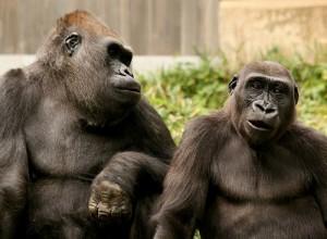 hairy gorillas like laser hair removal
